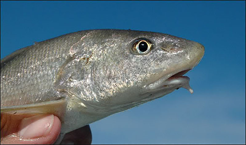 Whiting of winter capmel for Whiting fish picture